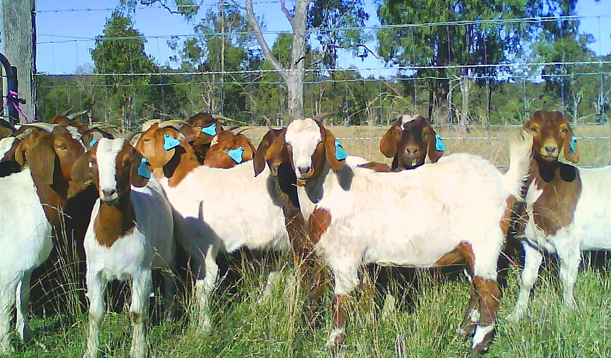 goat-692274_640