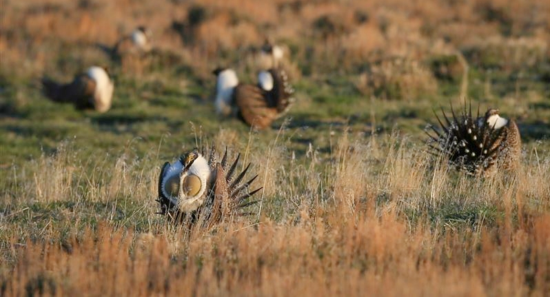 "Sage grouse are an ""umbrella species"" and an icon of the Western range. When ranchers implement conservation practices that benefit sage grouse, those practices also benefit 350-plus sagebrush-dependent species. Photo by Tatiana Gettelman."